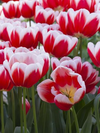 White rimmed red tulips by Anna Miller