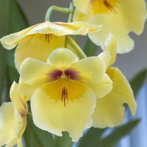 Yellow Orchid Blooms by Anna Miller