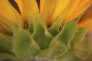 Yellow Sunflower Close-up by Anna Miller