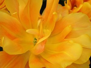 Yellow Tulip Close Up by Anna Miller