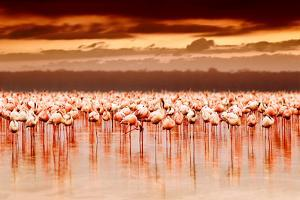 African Flamingos in the Lake over Beautiful Sunset, Flock of Exotic Birds at Natural Habitat, Afri by Anna Om
