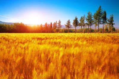 Beautiful Autumn Landscape, Dry Golden Grass Field, High Green Pine Trees, Autumnal Nature, Sunny D