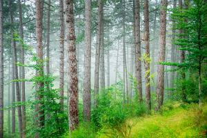 Beautiful Pine Tree Forest, Abstract Natural Background, Misty Woods in the Morning, Amazing Nature by Anna Omelchenko