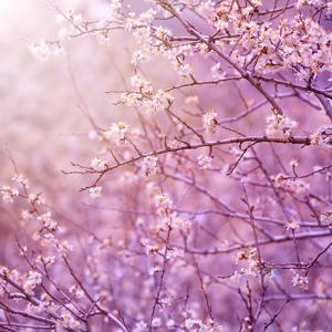 Beautiful Tender Cherry Tree Blossom in Morning Purple Sun Light by Anna Omelchenko