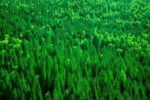 Evergreen Fir Tree Background, Bird Eye View on Fresh Pine Forest, Beautiful Abstract Natural Backd by Anna Omelchenko
