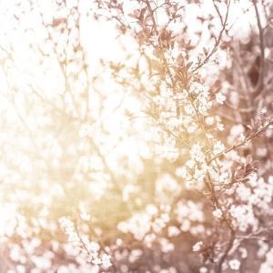 Photo of Beautiful Cherry Blossom by Anna Omelchenko