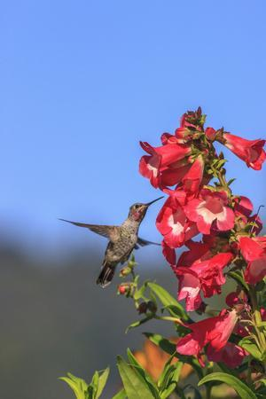 https://imgc.allpostersimages.com/img/posters/anna-s-hummingbird-santa-cruz-california-usa_u-L-PN6LQW0.jpg?artPerspective=n