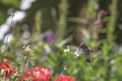 https://imgc.allpostersimages.com/img/posters/anna-s-hummingbird-santa-cruz-california-usa_u-L-PN6LRQ0.jpg?p=0