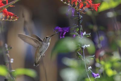 https://imgc.allpostersimages.com/img/posters/anna-s-hummingbird-santa-cruz-california-usa_u-L-PN6LSZ0.jpg?artPerspective=n