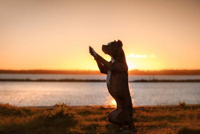 Dog Pit Bull Terrier on the Walk by annaav