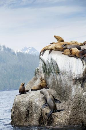 Sea lions lounge on a rock in British Columbia's Great Bear Rainforest. by Anne Farrar