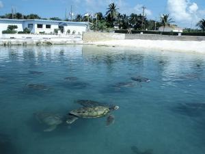 Green Sea Turtles, Turtle Farm, Grand Cayman by Anne Flinn Powell
