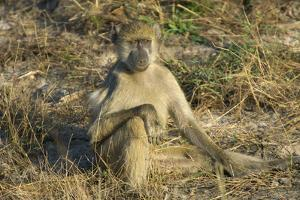 A Chacma Baboon, Zambia by Anne Keiser
