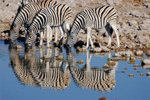 A Group of Zebras Take a Drink at the Waterhole, Etosha National Park, Namibia by Anne Keiser