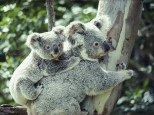 A Koala Bear Hugs a Tree While Her Baby Clings to Her Back by Anne Keiser