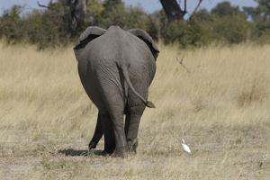 A White Bird Next to an Elephant, Upper Vumbura Plains, Botswana by Anne Keiser