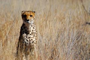 Cheetah in the Grasses, the Cheetah Conservation Fund, Namibia by Anne Keiser