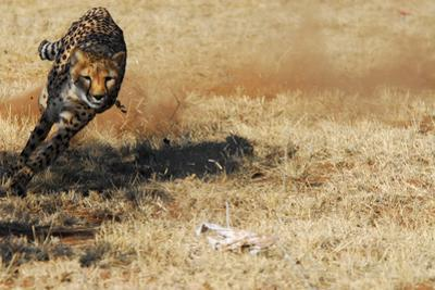 Cheetah Running, the Cheetah Conservation Fund, Namibia by Anne Keiser