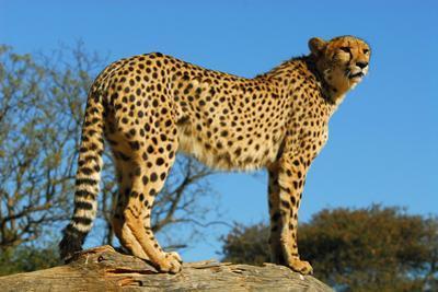 Cheetah, the Cheetah Conservation Fund, Namibia by Anne Keiser