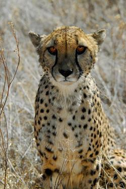 Close-Up of Cheetah in the Grasses, the Cheetah Conservation Fund, Namibia by Anne Keiser