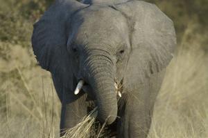 Elephant Eating Grasses, Upper Vumbura Plains, Botswana by Anne Keiser