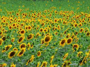 Field of Sunflowers in Bloom by Anne Keiser