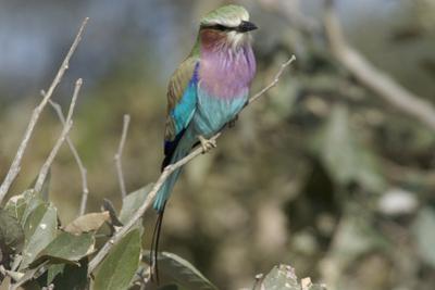 Lilac Breasted Roller, Upper Vumbura Plains, Botswana by Anne Keiser