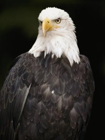 Portrait of an American Bald Eagle by Anne Keiser
