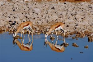 Two Springbok Antelopes Drink at the Edge of a Waterhole, Etosha National Park, Namibia by Anne Keiser