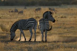 Two Zebras, Selinda Camp, Botswana by Anne Keiser