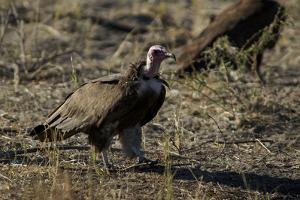 Vultures, Selinda Camp, Botswana by Anne Keiser