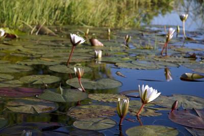Water Lilies, Kwetsani Camp, Botswana by Anne Keiser