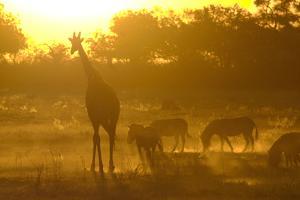 Zebras, and Giraffe, Selinda Camp, Botswana by Anne Keiser