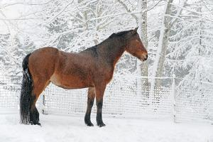 Horse in Snow Covered Setting by Anne Louise MacDonald