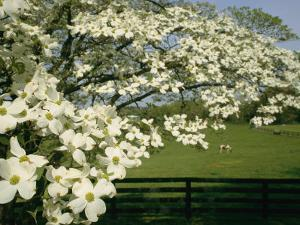 A Blossoming Dogwood Tree in Virginia by Annie Griffiths Belt