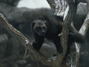 A Captive Wolverine in a Snow-Dusted Tree by Annie Griffiths Belt