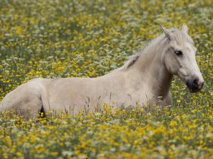 A Domestic Horse Rests in a Meadow of Little Yellow and White Flowers by Annie Griffiths Belt