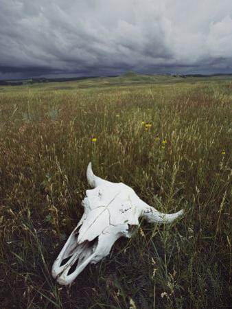 A Lone Bison Skull Nestled in the Grasses of Custer State Park by Annie Griffiths Belt