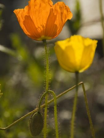 Close-up of Sunlit Poppies by Annie Griffiths Belt