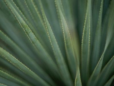 Close View of the Leaves of a Sotol Agave Plant by Annie Griffiths Belt