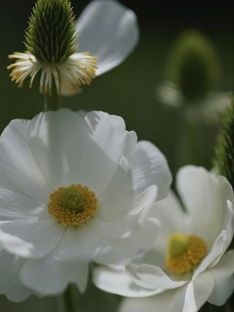 Close View of White Flowers in Bloom by Annie Griffiths Belt