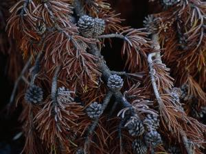 Frost Covers the Branches of a Pine Tree by Annie Griffiths Belt