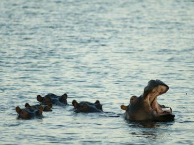 Hippos Float in the Zambezi River in Zambia by Annie Griffiths Belt