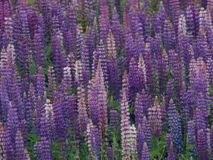 Lupines Growing Alongside Minnesotas U.S. Route 61 by Annie Griffiths Belt