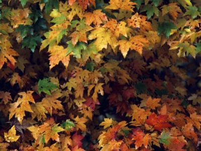 Maple Leaves in the Fall by Annie Griffiths Belt