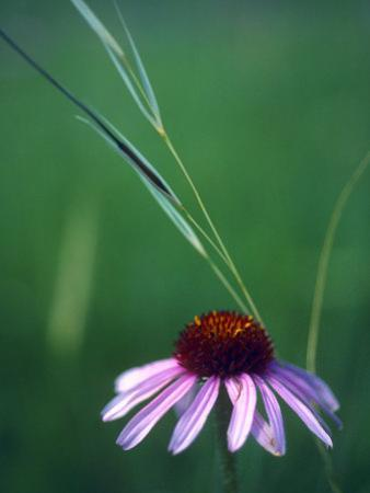 Purple Coneflower and a Stalk of Grass by Annie Griffiths Belt