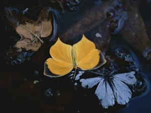 Two Migratory Butterflies Floating on the Surface of a Pool of Water by Annie Griffiths Belt