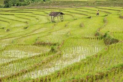 Farmer in Rice Paddy Fields Laid in Shallow Terraces