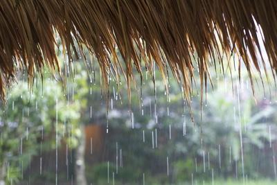 Heavy Monsoon Rain Dripping Off a Rice Straw Thatched Roof