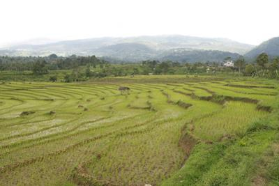 Rice Paddy Fields in Shallow Terraces